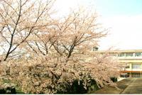 テニスコート桜写真