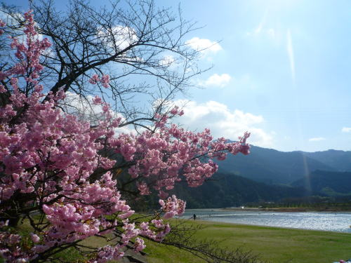 kanzakura1.jpg