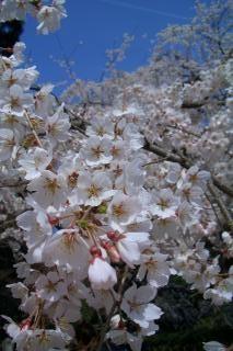 桜2_090321