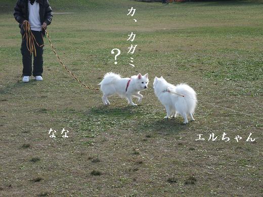 日本スピッツ仙台泉0017