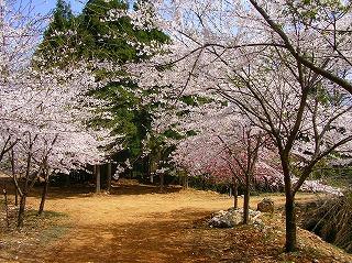 瓜割名水公園・桜