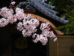 聖徳太子廟・桜