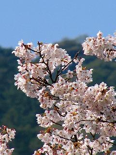 日向大神宮・桜1