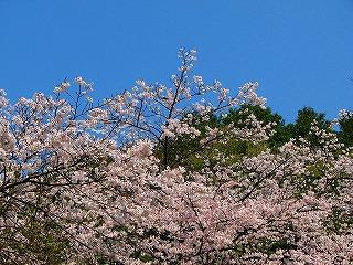 日向大神宮・桜3