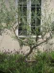 オリーブの庭2