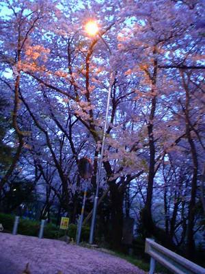 A09.04.14. 白山夜桜017