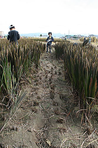 田舎館稲刈り6