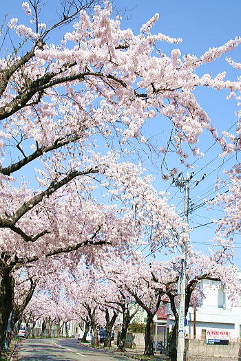 340桜川