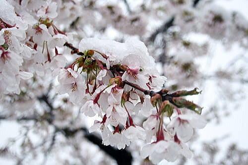 355雪桜