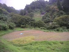 刈り残しの稲②