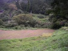 刈り残しの稲①