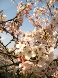 桜を愛でに