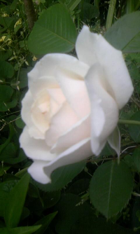 090504_063638白バラ