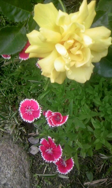 090504_065605黄色いバラとナデシコ