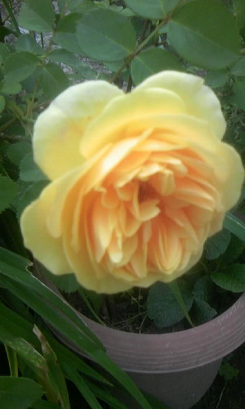090510_075352オレンジがかった薔薇