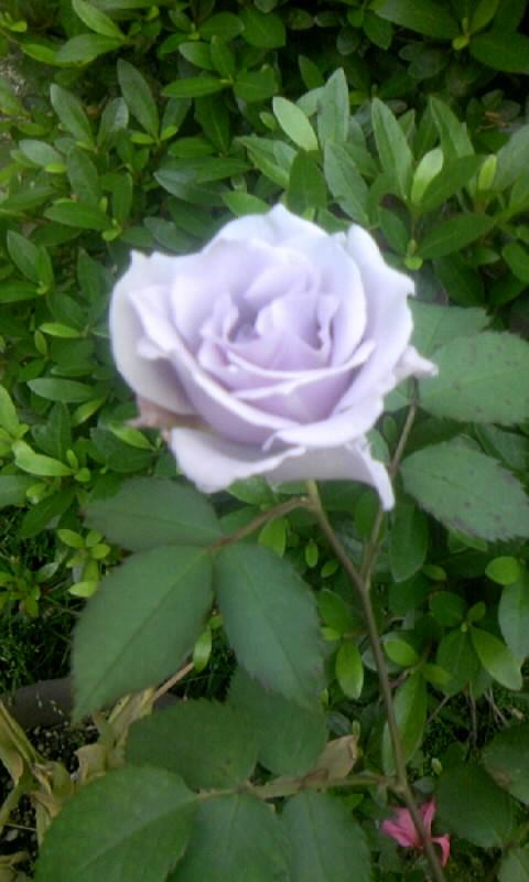 090510_075645青い薔薇