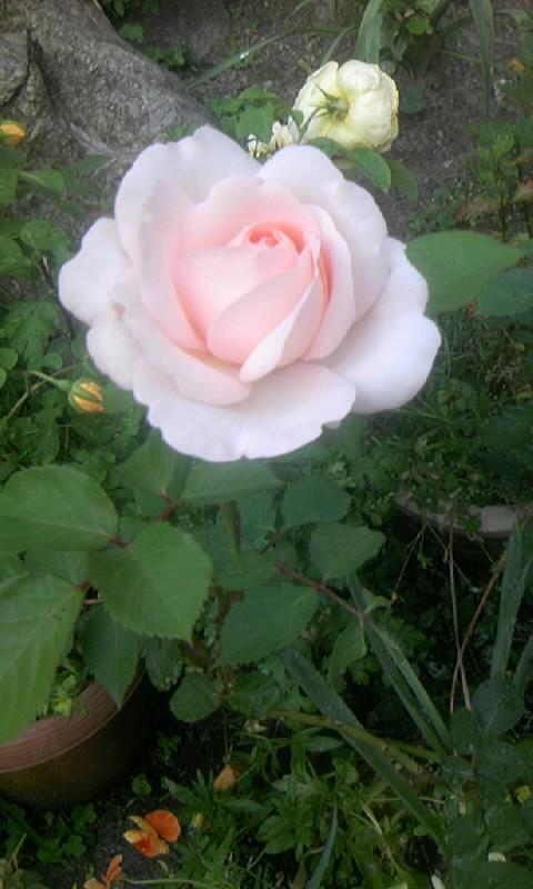 090510_163629ピンクの薔薇