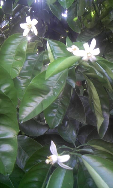 090510_164444柑橘の花