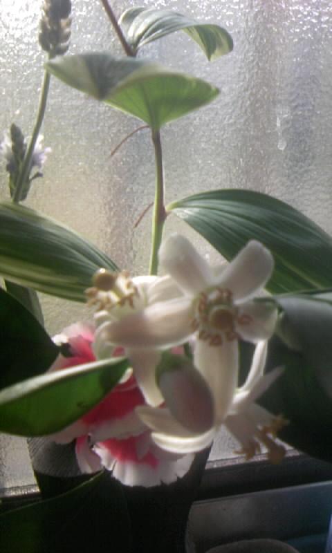 090511_073847柑橘の花