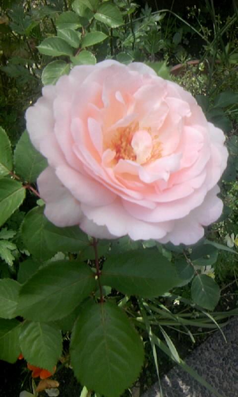 090511_095054ピンクの薔薇