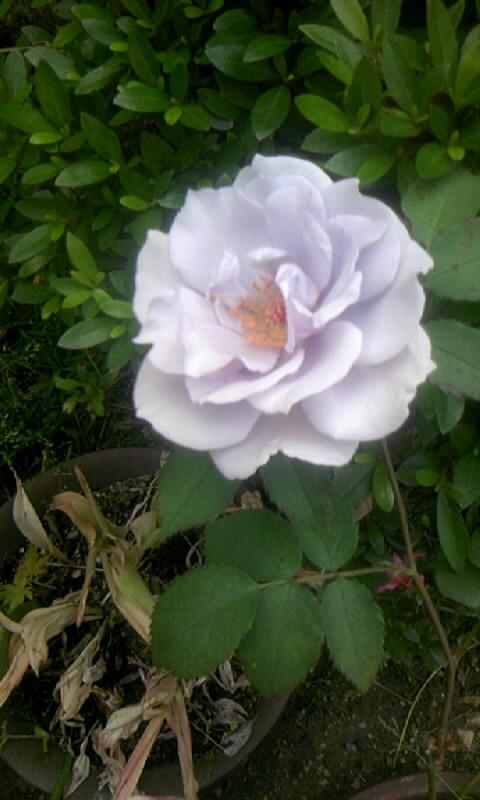 090510_154700青い薔薇