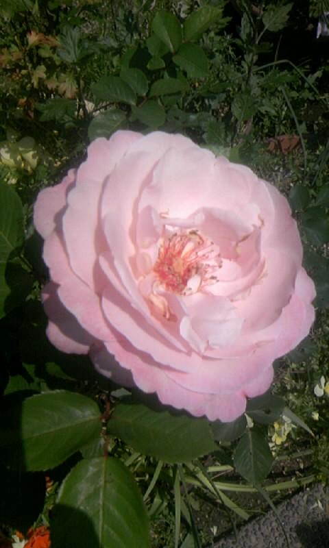 090512_133001ピンクの薔薇