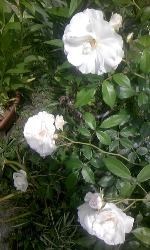 090515_105005白薔薇
