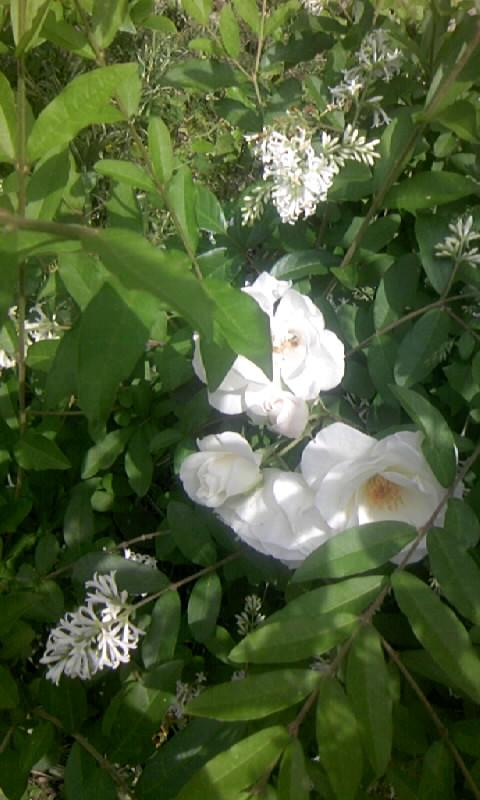 090515_105053白い花園