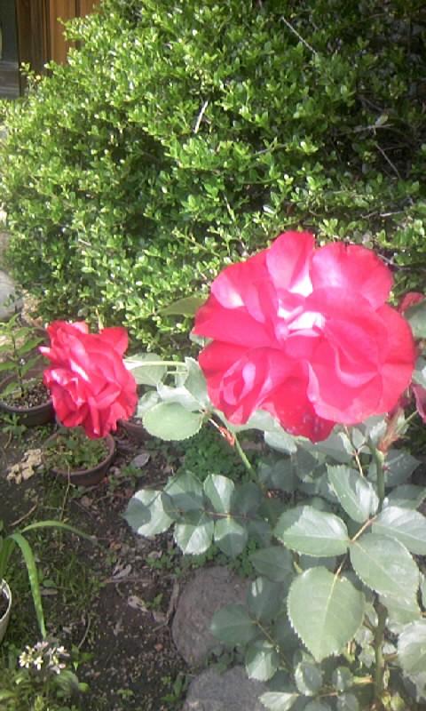 090515_105134紅い薔薇