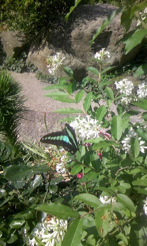 090514_084051イボタノキに蝶
