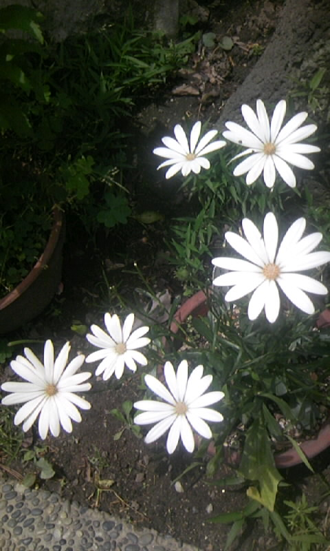 090515_105204オステオスペルマム スーパーホワイト