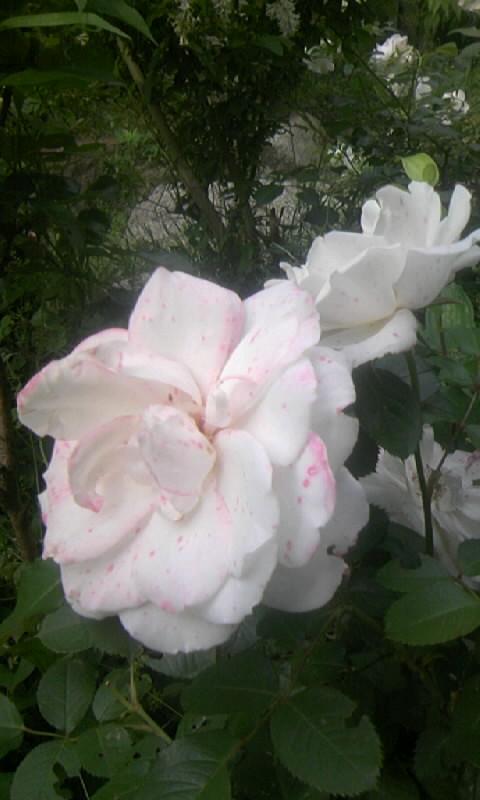 090519_071609白薔薇にピンクの