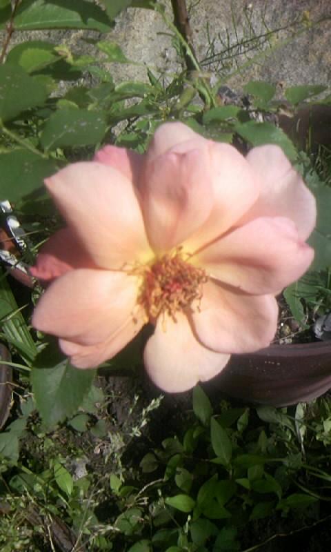 090531_152444薔薇
