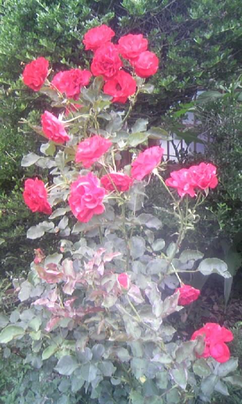 090611_132933紅い薔薇