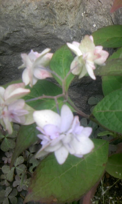 090614_095315山紫陽花