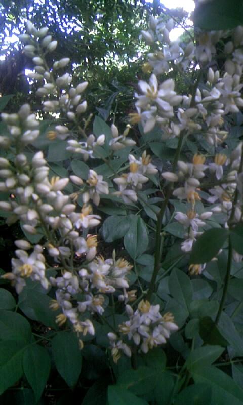 090615_103343南天の花