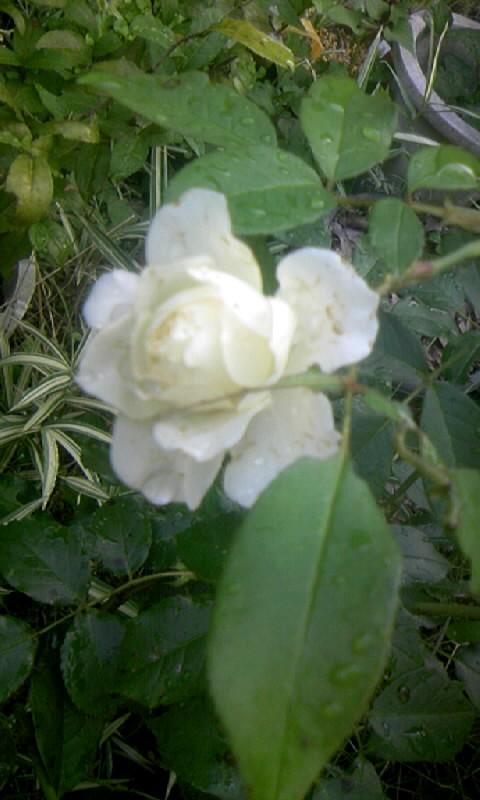 090626_064639白薔薇