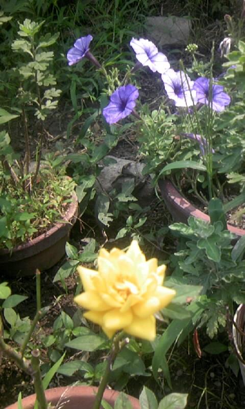 090627_085723黄色のミニ薔薇