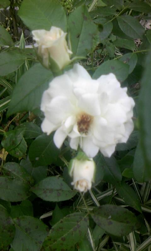 090628_102803白薔薇