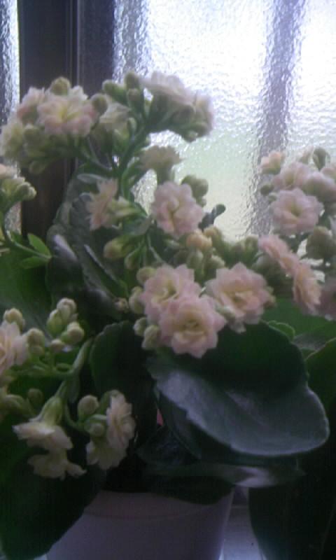 090709_070312カランコエ バラ咲き