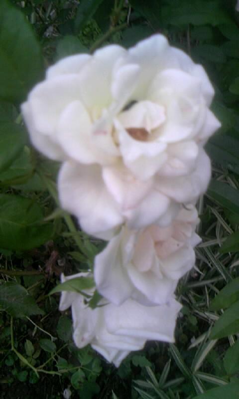 090709_073452白薔薇