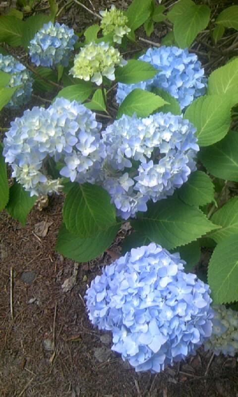 090714_161700紫陽花