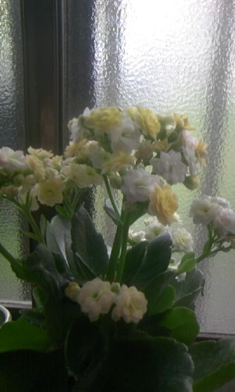 090718_090203バラ咲きカランコエ