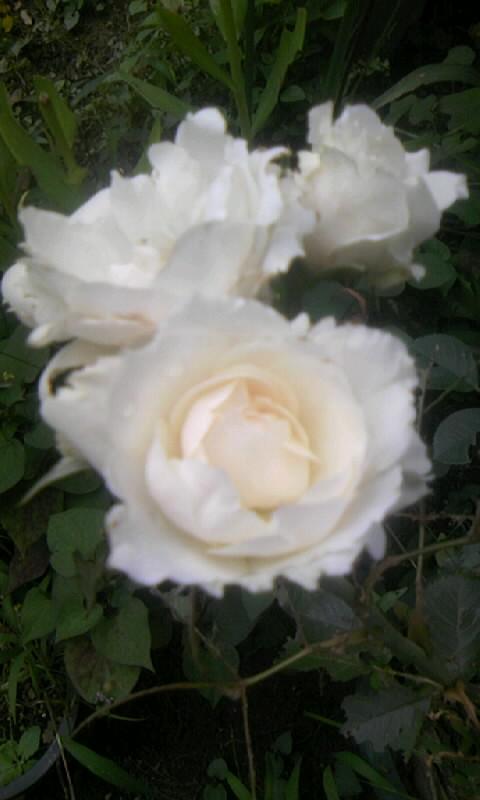 090724_103759白薔薇