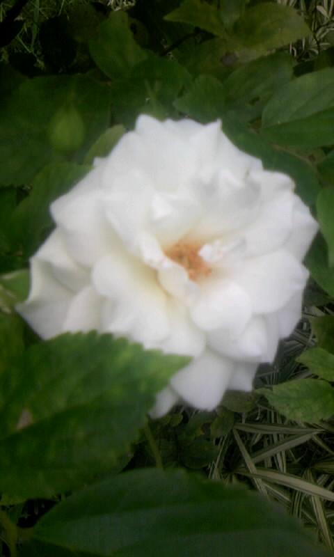 090724_104206白薔薇