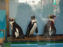 本物のペンギン1