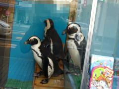 本物のペンギン2