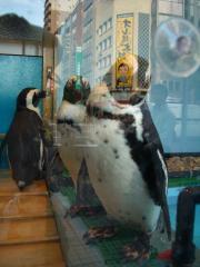 本物のペンギン3