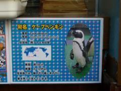 ケープペンギン紹介1