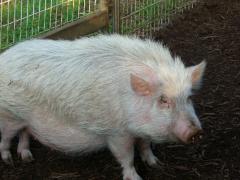 27豚さんがいっぴき